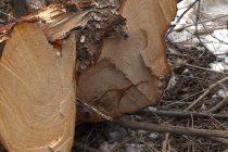 Prinşi la tăiat copaci