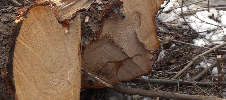 Condamnați la închisoare după ce au tăiat ilegal 23 de arbori