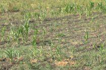 Seceta face ravagii în agricultură