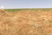 70.000 de hectare afectate de secetă