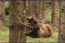 Bison Safari