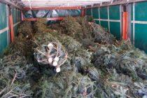 Brazi de Crăciun tăiați ilegal, confiscați de polițiști