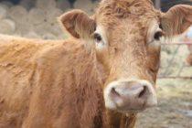 O vacă a fost salvată dintr-o mlaştină de pompierii nemţeni