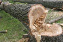 Cercetaţi pentru că au taiat ilegal lemne din pădure