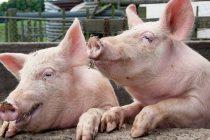 Măsuri de prevenire luate de Primăria Piatra Neamț privind tăierea și comercializarea cărnii de porc