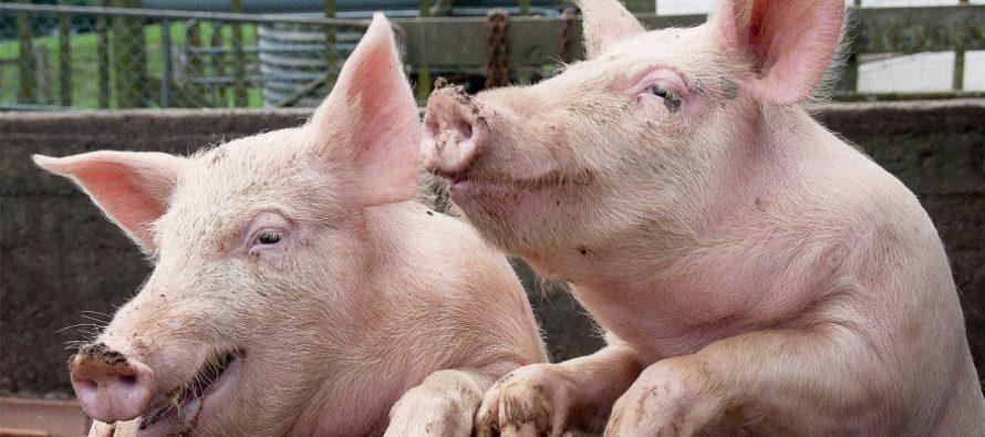 Acțiune a polițiștilor nemțeni pentru prevenirea răspândirii virusului pestei porcine africane