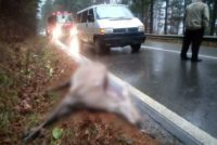 O căprioară a fost lovită mortal de un microbuz școlar în comuna Borca