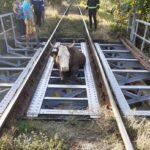 bovina salvata de pe calea ferata (2)