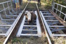 Bovină salvată de pe șinele de cale ferate de pompierii nemțeni