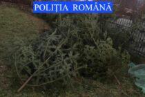 Poliţiştii au confiscat 59 de brazi din curtea unui cetățean din Cândești