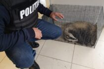 Bursuc salvat de polițiști din subsolul unui bloc din Piatra Neamț