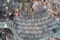 Grenadă neexplodată descoperită de doi adolescenți în pădure, în comuna Brusturi