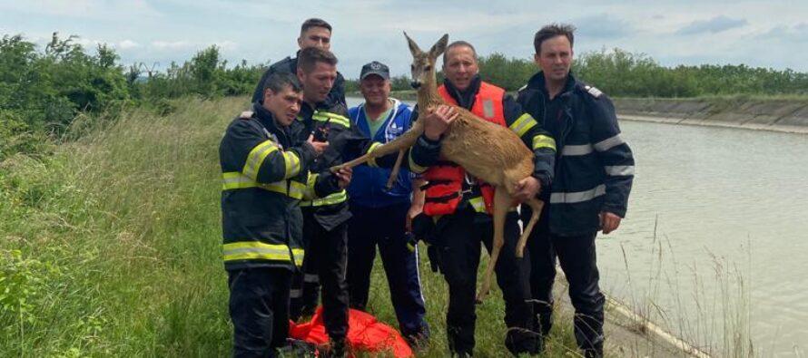 Căprioară căzută în canalul Bistrița la Zănești, salvată de pompieri