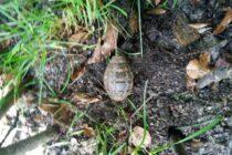 Grenadă neexplodată descoperită în pădurea de la Bâtca Doamnei